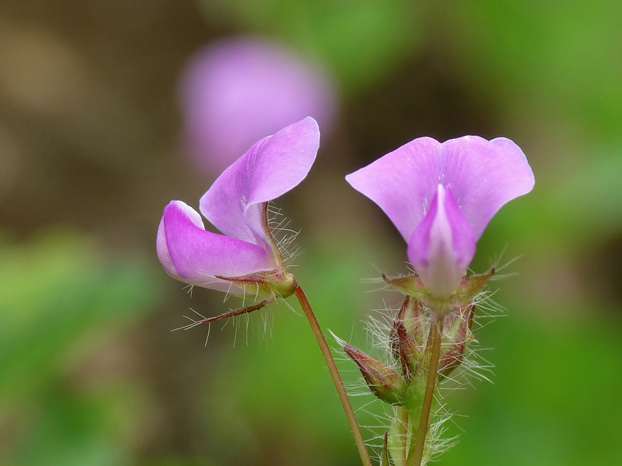 desmodium_triflorum_at_kadavoor-1
