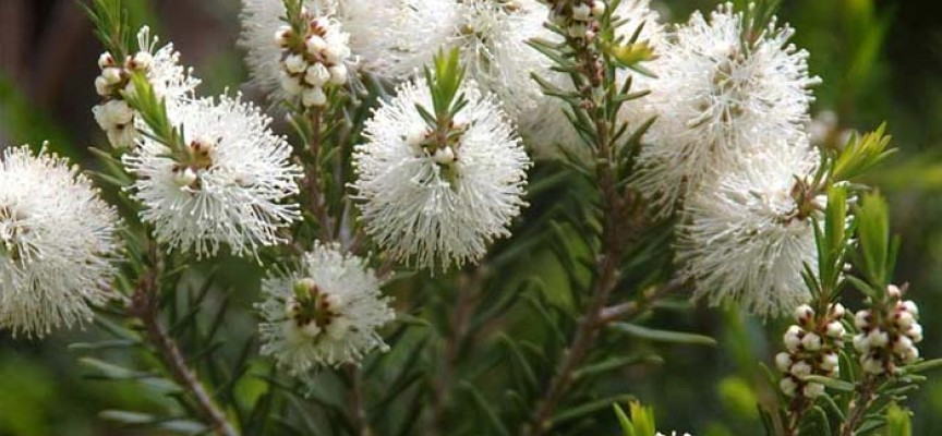 arbol-de-te-flores