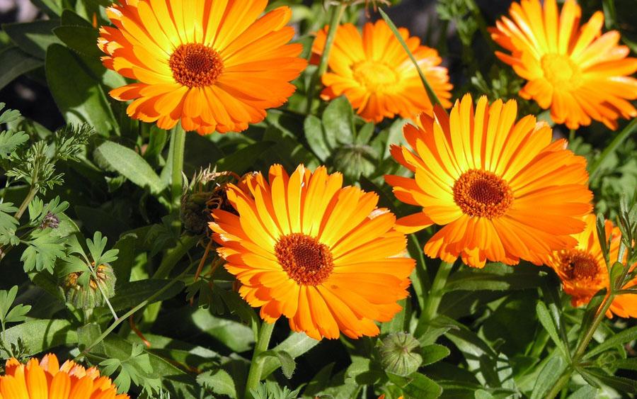 cuales-son-las-flores-de-invierno-calendula-1