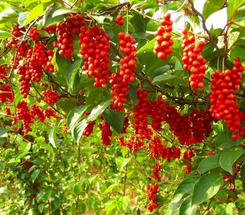 eetbare-tuin-edible-garden-schisandra-chinensis-pe